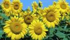 Закупка соняшника олійного