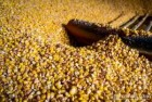 покупаем кукурузу в донецкой луганской области расмотри и в др.обл. - ѕревью изображени¤ 1