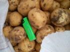 Продадим картофель сорт Ривьера семенная от прямого поставщика оптом