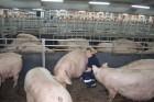 Продам свиней на убой мясное направление