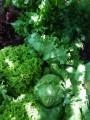 Салат зелень Айсберг, Лоло Роса, Лоло Бионда, Мята, Петрушка, Укроп
