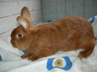 Кролики Новозеландский красный (доставка по Украине)