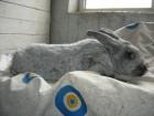 Кролики Полтавское серебро (доставка по Украине)