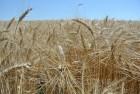 """Семена пшеницы озимой """"Благодарка Одесская"""" І репродукция"""