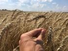"""—емена пшеницы озимой """"Ћасточка ќдесска¤"""" Ёлита"""