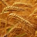 """Семена пшеницы озимой """"Миссия Одесская"""" І репродукция"""