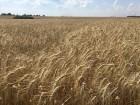 """Семена пшеницы озимой """"Голубка Одесская"""" Элита"""