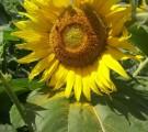 Семена подсолнечника Богдан (устойчевые к Евро-лайтингу)