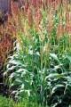 Семена Сорго зерновое и веничное оптом.