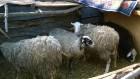 Продам баранов или поменяю на другую продукцию животноводства.