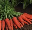 Продам моркву від виробника великим оптом. Киев