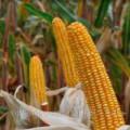 —емена подсолнечника и кукурузы