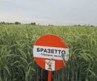 —емена –ожь озима¤ KWS, нас≥нн¤ жито озиме
