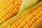 Продам посевной материал пшеницы, ячменя, кукурузы, сои, гречки, подсолнух - Превью изображения 3