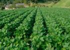 Продам посевной материал пшеницы, ячменя, кукурузы, сои, гречки, подсолнух - Превью изображения 2