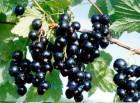 Продая ягоди чорної смородини