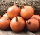 семена лука Глобус