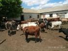 Продаю бычков 50 голов