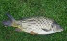Продам живую рыбу: карп, толстолобик, щука, карась, сом, амур   Зарыб