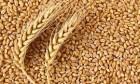 Закупаем Ячмень и Пшеницу