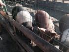Свиньи продам от 150 кг. мясных пород