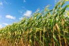 Покупаем кукурузу и ее отходы