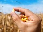 Закупка кукурузы в базе.