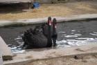 Черные лебеди собственного разведения