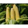 Семена кукурузы Оржица 237МВ F-1