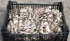 Продажа Вешенки в Луганске