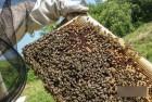 Продам бджолопакети на даданівську та українську рамки