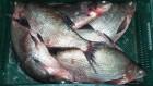Продам оптом лещ,тарань,и др.рыбу в ассортименте