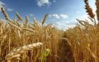 Куплю пшеницю 2,3кл , фураж , з сажкою , головньою