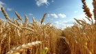 Продам посевной материал пшеницы Лесная песня элитЭ
