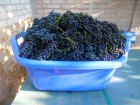 распродажа саженцев винограда.