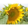 Семена подсолнечника Арлет Премиум