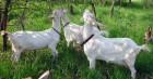 Зааненские безрогие козы и козёл производитель
