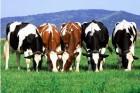Закупаем КРС (быков, коров, телок) по выгодной цене