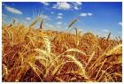 Закупаем пшеницу, ячмень, масличные