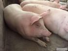 продам свиней живым весом 300 галов и больше