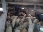 продам свиней живой вес 1 категория 250 галов.