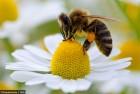 Продам власні бджолопакети