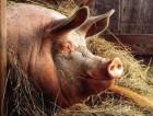 Свиньи, поросята ж/в, свинина в полутушах оптом