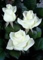 —аженцы роз 100 сортов