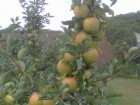 яблоки оптом из сада