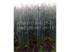 Канадский высокоурожайный  элитный сорт мягкой пшеницы Canmon