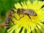 Продам бджолопакети Поліської породи бджіл