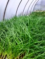 Продам зелень цибулі з власної теплиці, вирощену в екологічних умовах