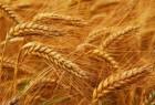 Продам Пшеницу 3 класс и 4 класс