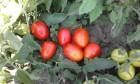 """Продам средний и крупный полевой помидор сорта """"Сливка"""" и """"Бо..."""